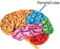 Parietal lobe.jpg